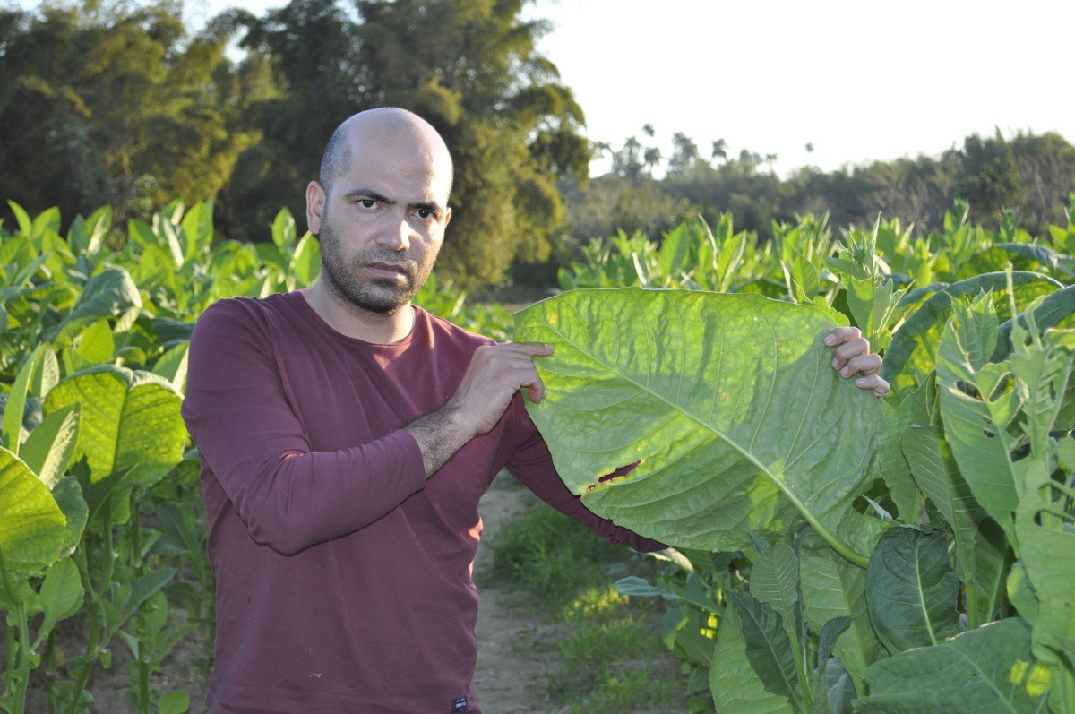 Tabachny plantatcii Cuba (11)
