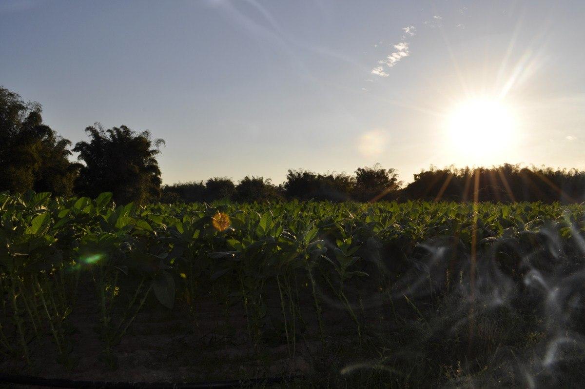 Tabachny plantatcii Cuba (3)