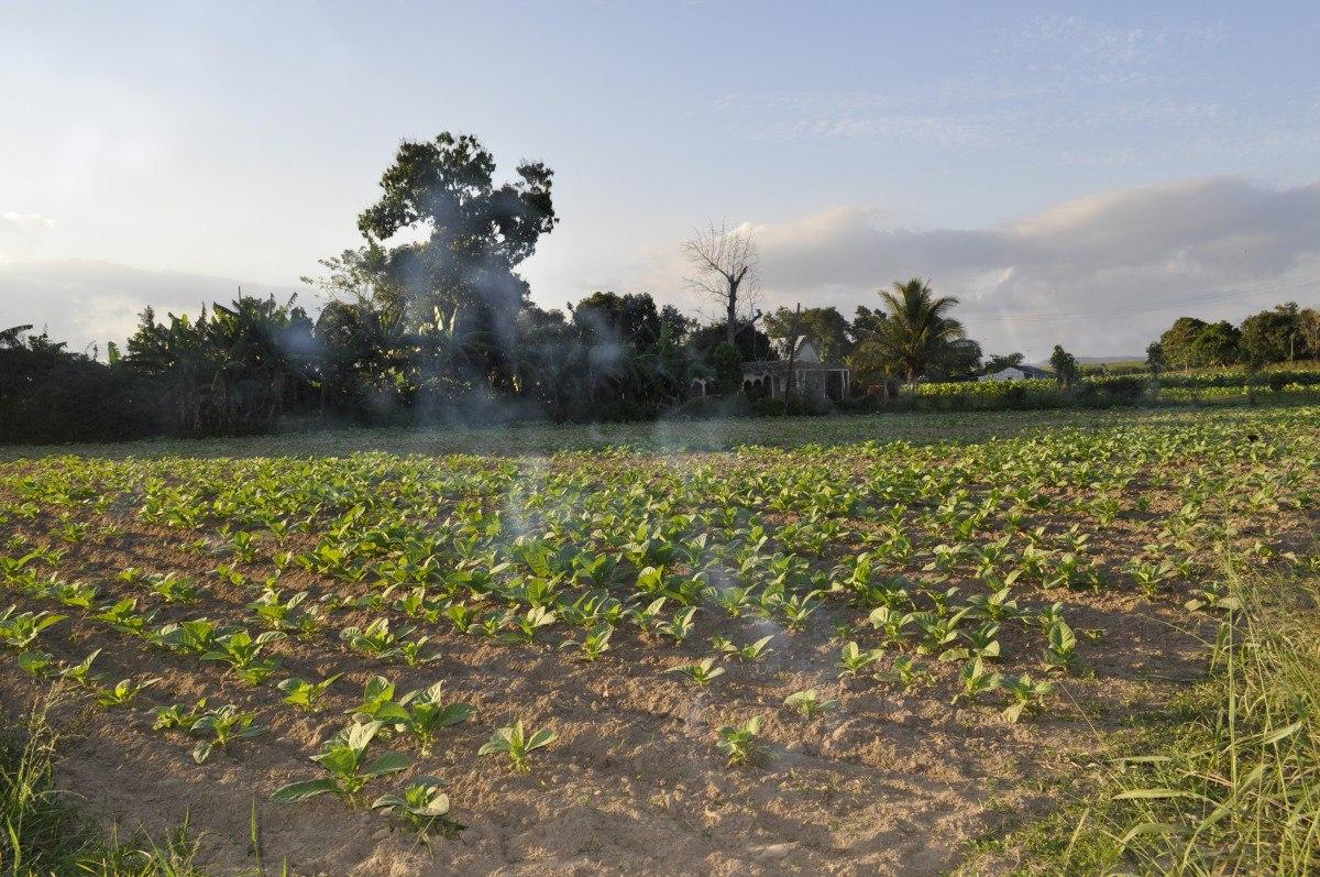 Tabachny plantatcii Cuba (4)