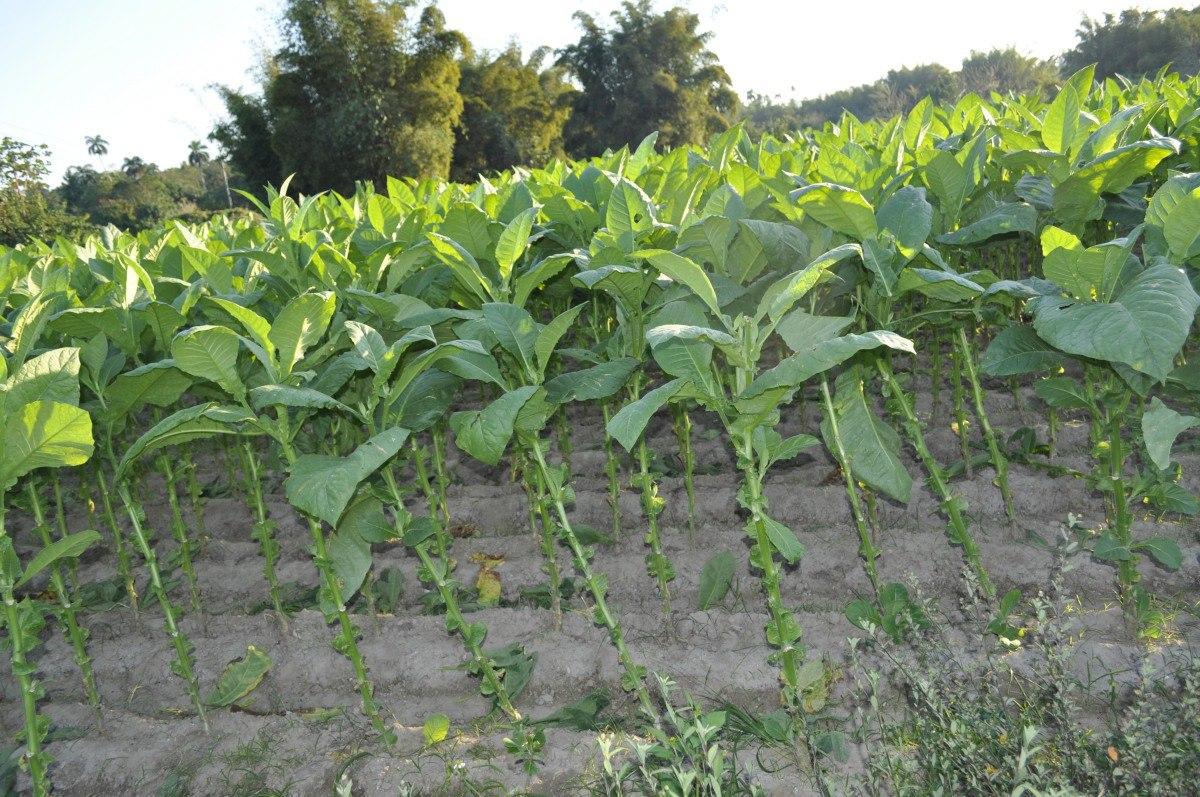 Tabachny plantatcii Cuba (5)