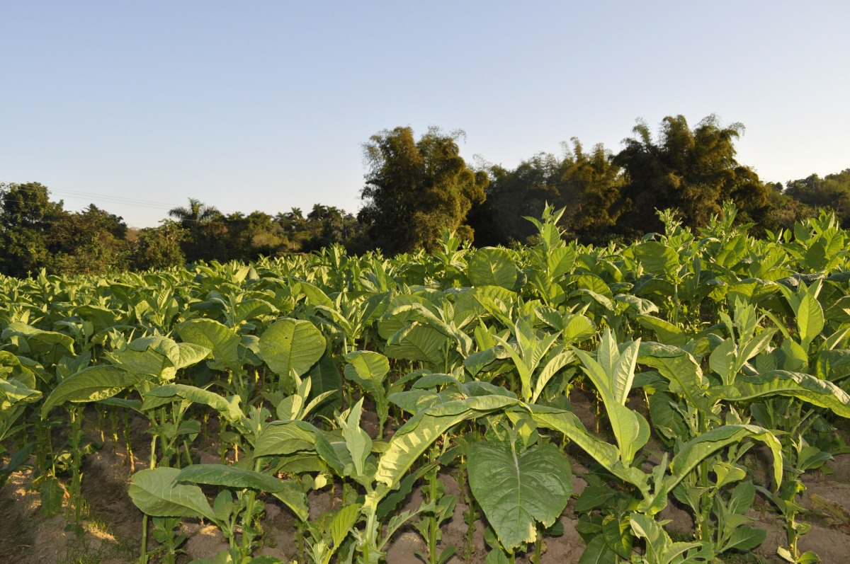 Tabachny plantatcii Cuba (6)